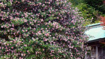パーマリンク先: サザンカと含紅桜